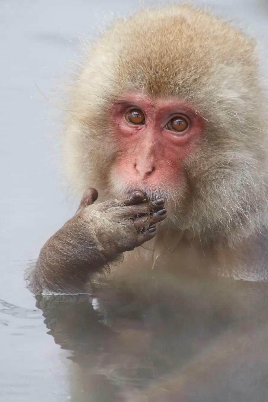 Aap in het Nagano Monkey Park