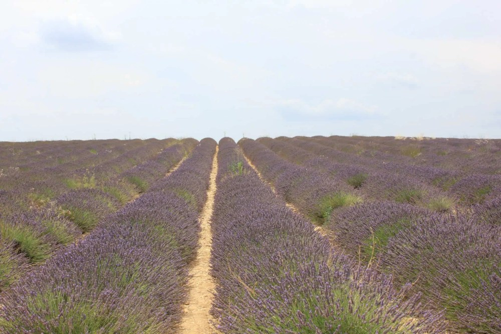 Lavender market, Valensole Plateau in Provence, lavender fields France, Valensole France, lavender fields france season, best time to visit lavender fields france
