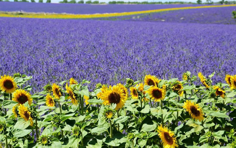 Valensole platå i Provence, ting å gjøre i Provence, lavendel i Provence, steder å besøke i Provence