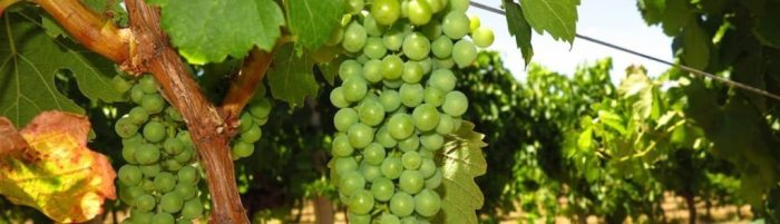 MargaretRiver2 grapes featured