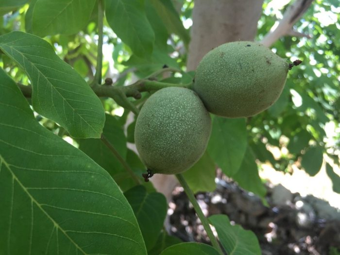 Fresh walnut on the tree