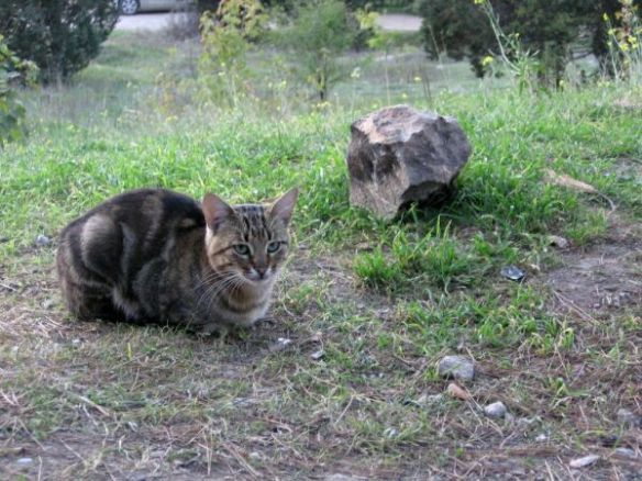 крымский кот