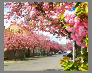 Сакуры в Ужгороде - отдых на майские