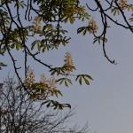 Осенняя весна — в сентябре в Киеве цветут каштаны