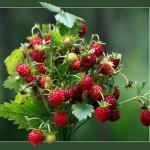 Как и где собирать ягоды