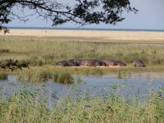 blog_hippos