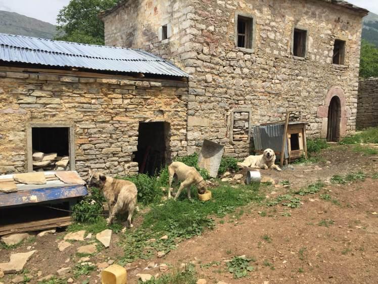 Sucit-Honden-bij-kulla-albanie