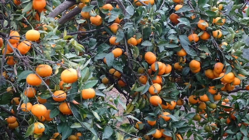 mandarijnen-in-ksamil