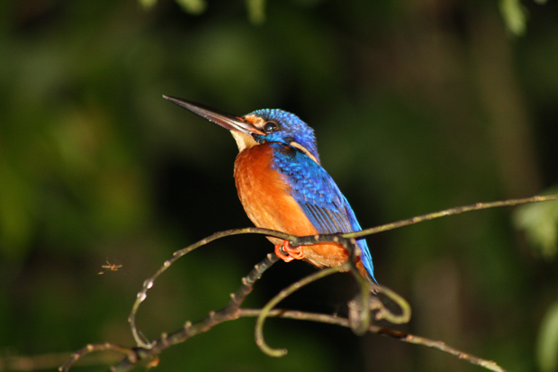 Kingfisher bird at the Kinabatangan River in Sabah, Borneo