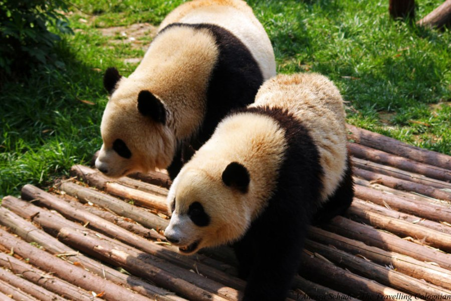 Pandas Chengdu Sichuan China ASIEN