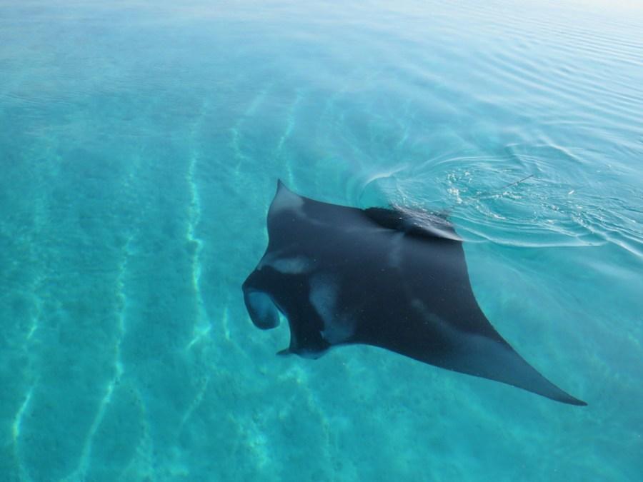 Manta-Rochen Ukulhas Malediven Südasien ASIEN