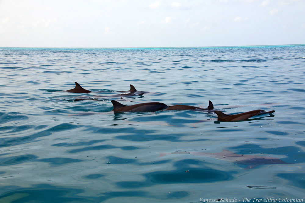 Dolphins_South Malé Atoll