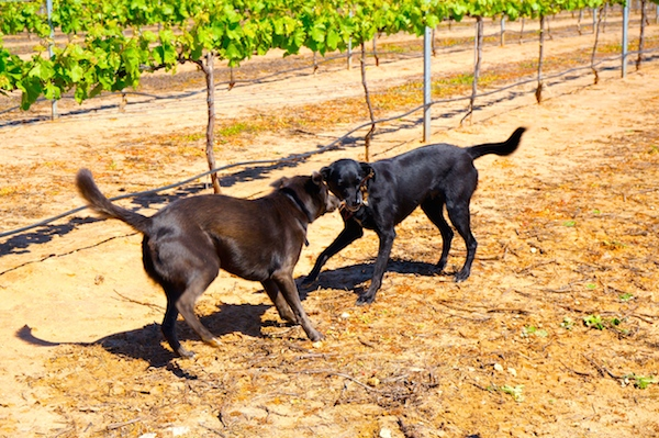 Dog-Friendly Swan Valley Wineries