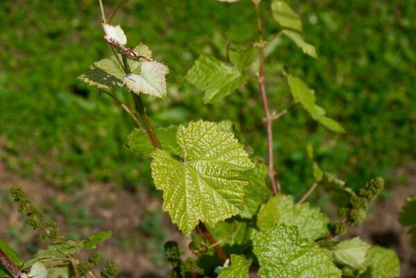 Chenin Blanc Vines - John Kosovich Vineyard, Swan Valley