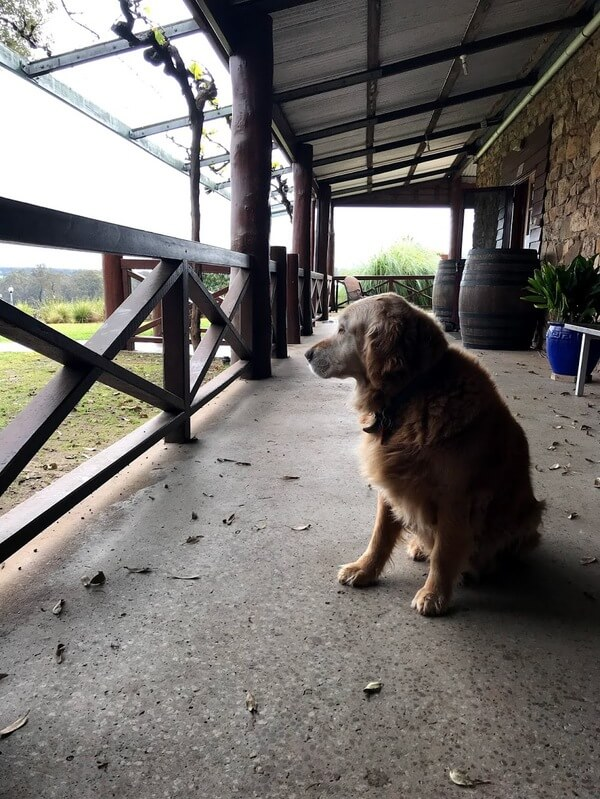 nelson-the-golden-retriever-sitting-on-the-verandah-at-alkoomi-winey-in-frandland-river-great-southern