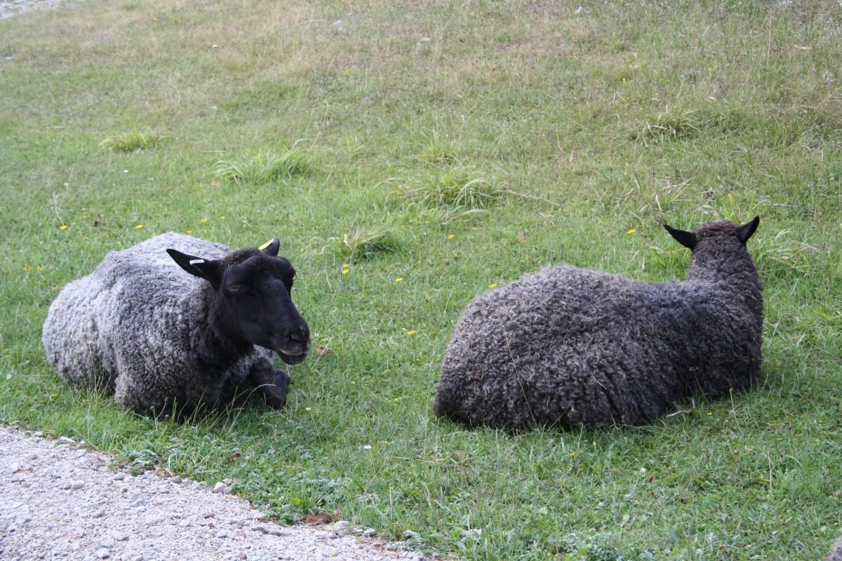 gotland sheep.JPG