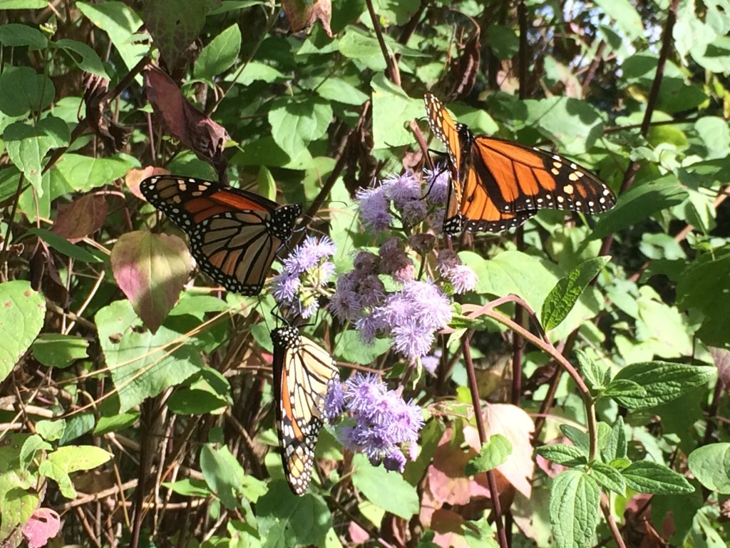 mexico butterflies