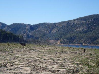 Emus at Bellfield Lake