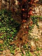 tree in wall Darjeeling