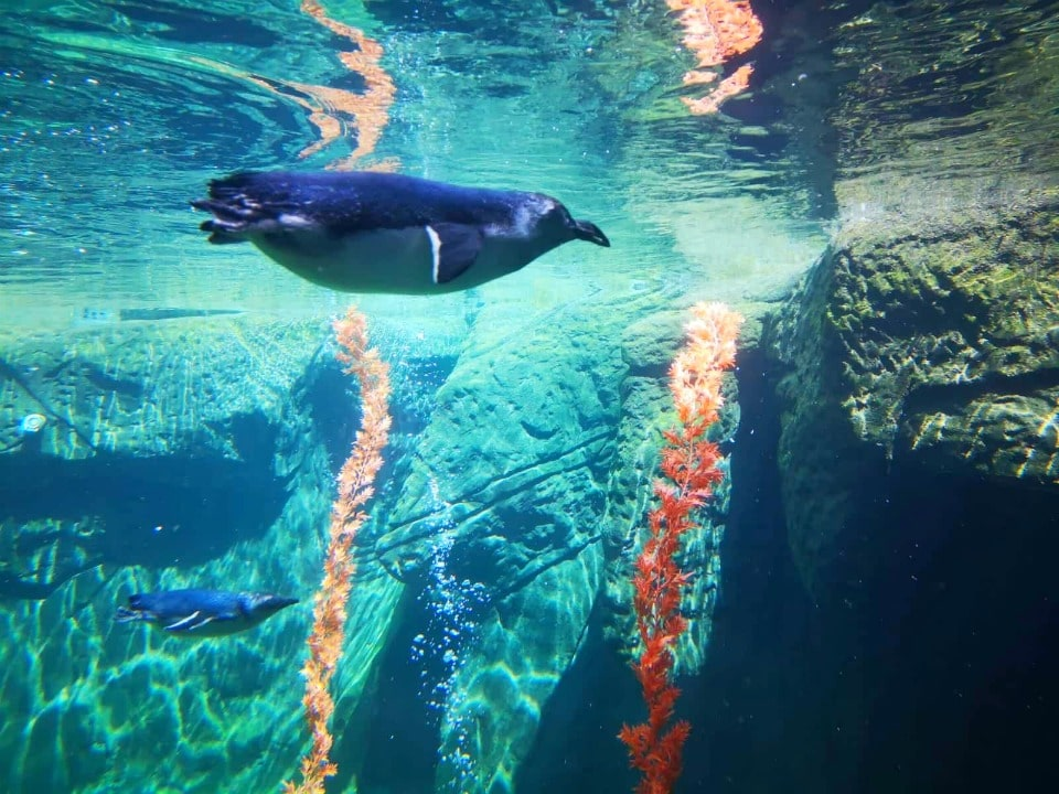 international Antarctic centre little blue penguins pohatu