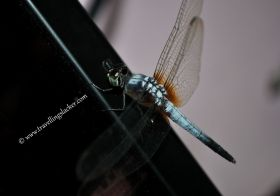 Sunkissed and Geeky Dragonflies