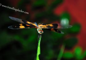 Multi-coloured Dragonfly