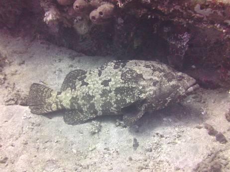 Giant Grouper.