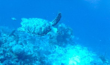 Seeing a turtle underwater is a very big deal.