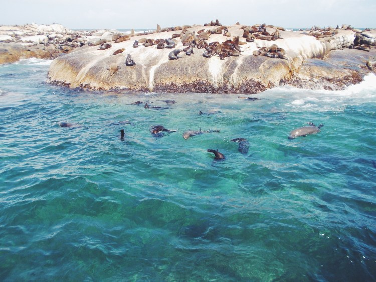 Cape Fur Seal colony near Hout Bay