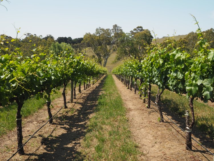 nepenthe-vineyard-south-australia