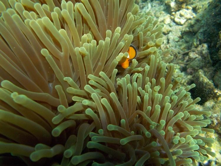 miniloc-clownfish-el-nido