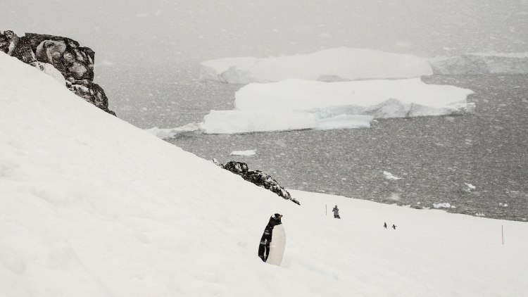 cuverville-antarctica-travel-blog-solo-oceanwide-expeditions-ortelius-seventh-continent-gentoo-penguins