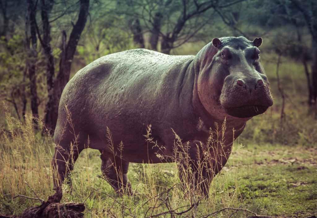 black hippopotamus on green grass