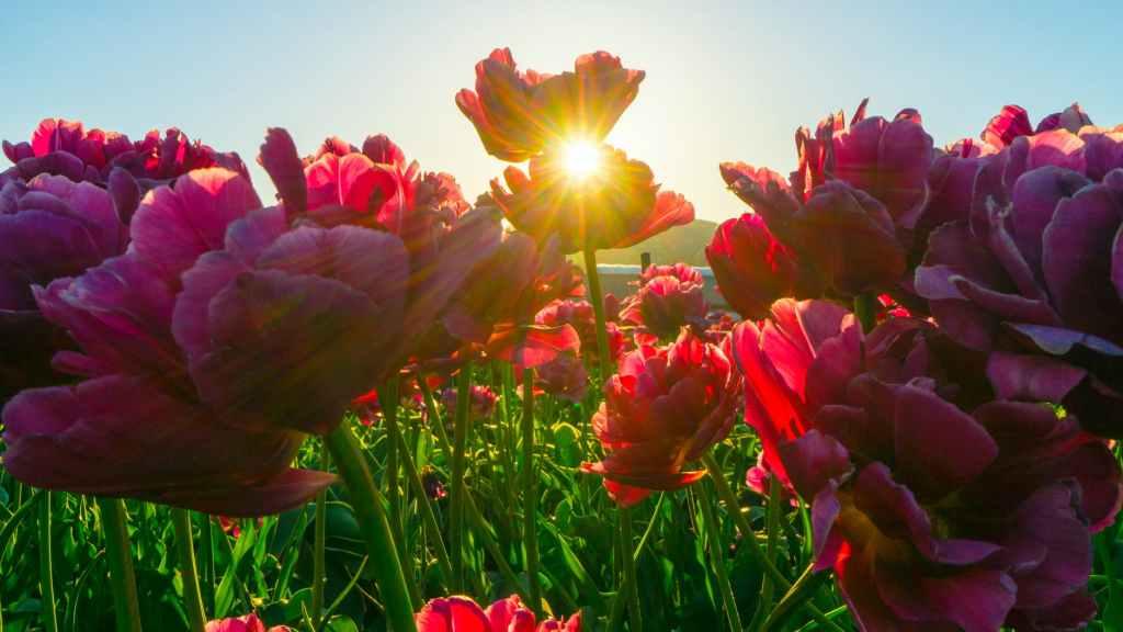 red flower fields
