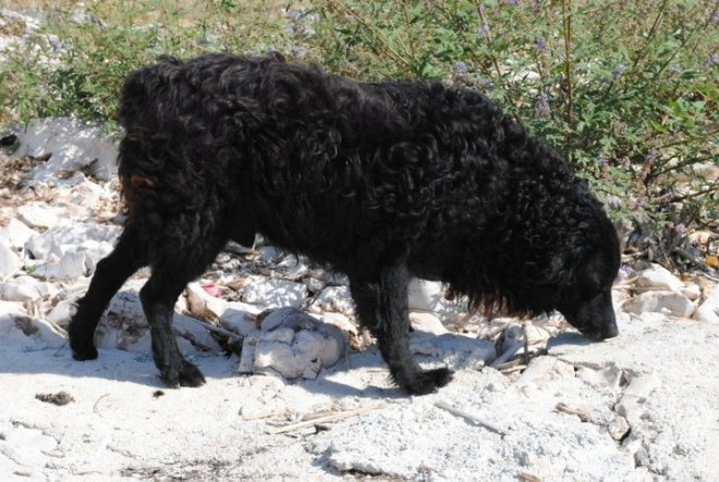 A sheep or a dog.... Kornati islands, Croatia