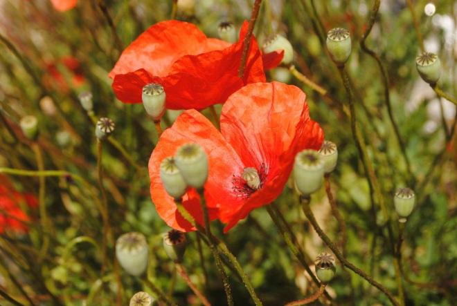 Poppy at Vis island, Croatia