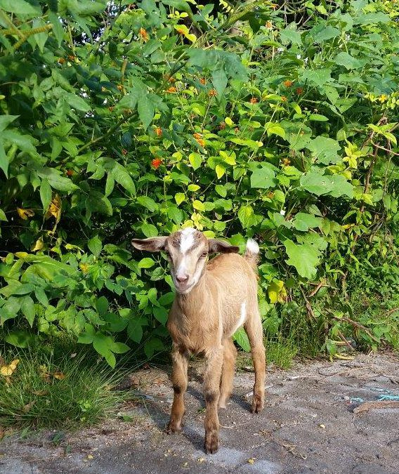 Goats who stare at men (or woman in this case). Gili Meno island, Indonesia