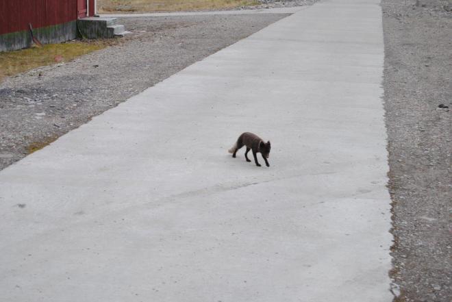 A fox sneaking around. Pyramiden. Svalbard. Spitsbergen. Norway