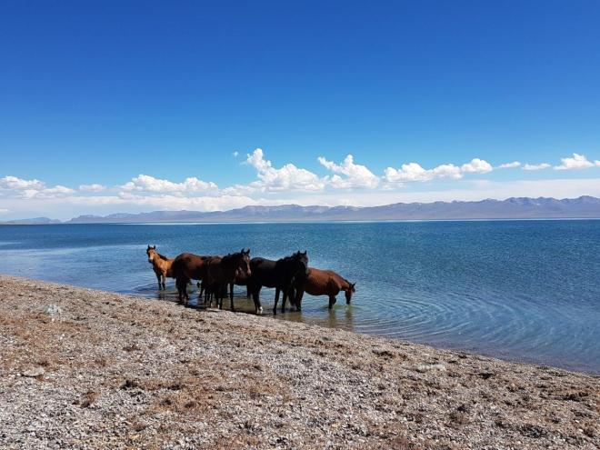 Horses coming to drink. Three day horse-riding trip to Song Kul, Kyrgyzstan.