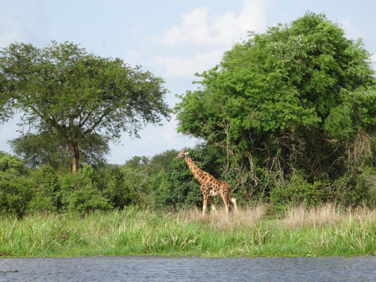 Beautiful giraffe. Murchison Falls National Park in Uganda Africa