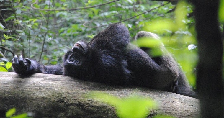 Chimpanzees and relaxation in Kibale