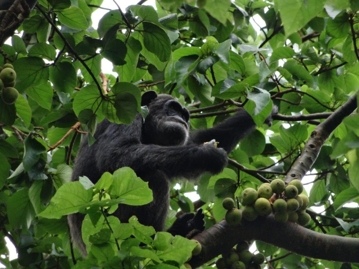 Chimps up in the tree. Chimp Tracking in Kibale Forest National Park, Uganda.