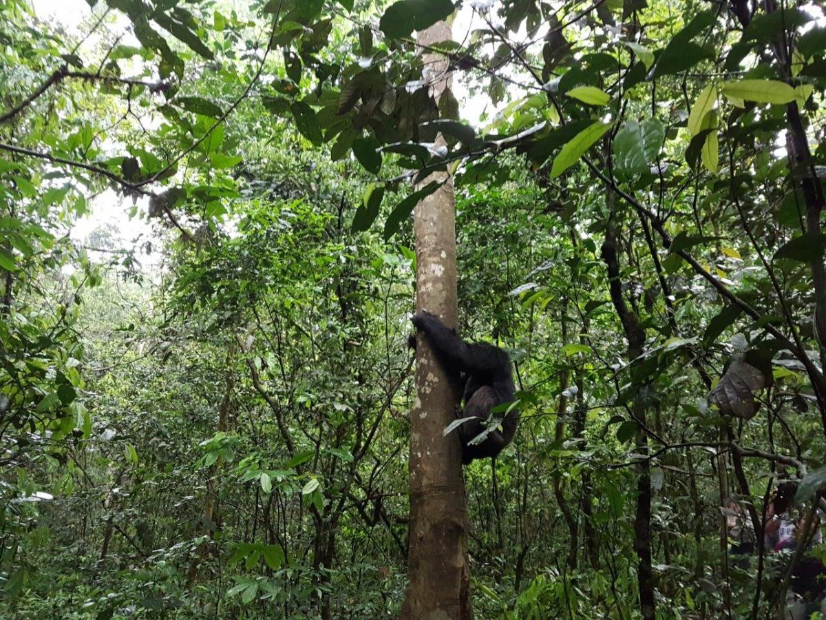 Sseebo climbing down from the tree. Chimp Tracking in Kibale Forest National Park, Uganda.