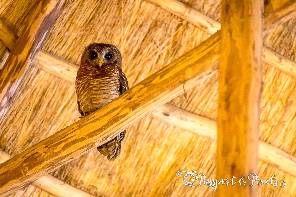 The African wood owl followed us to the dining area as well. Photo Bella Falck – Passport&Pixels. Crater Safari Lodge by Kibale Forest National Park, Uganda.