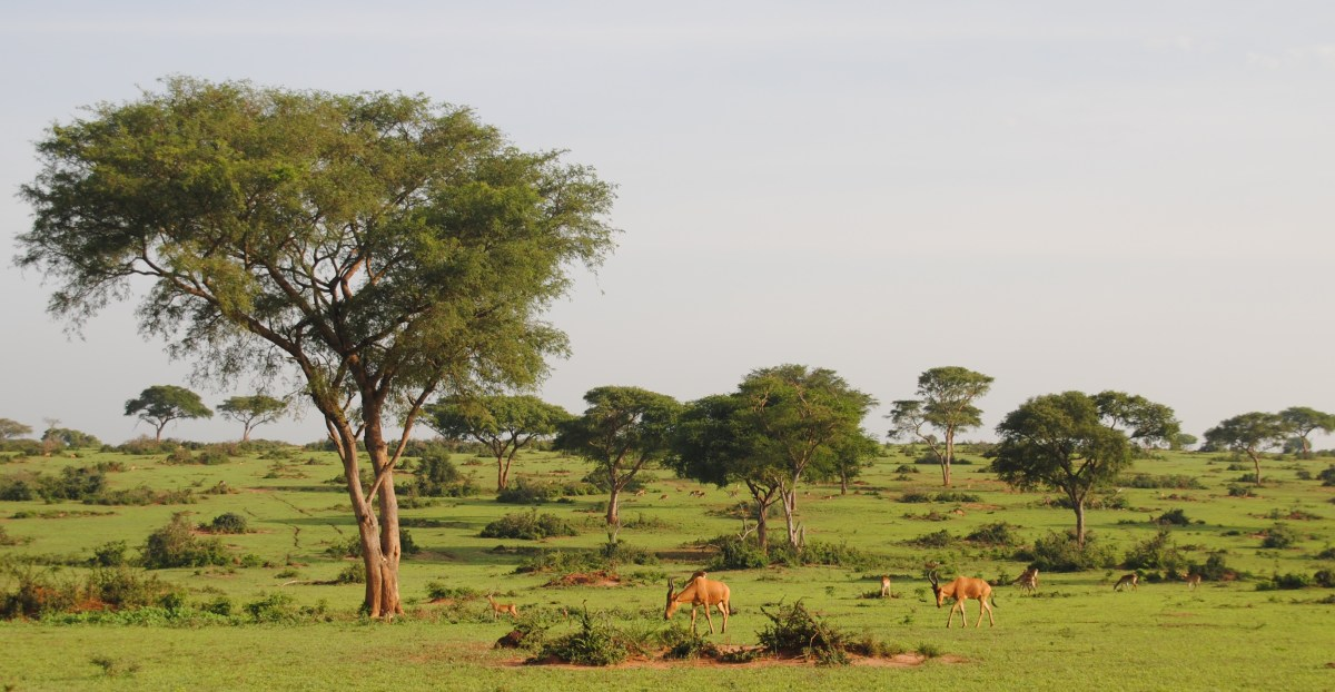 Ugandan Kob. Murchison Falls National Park in Uganda Africa