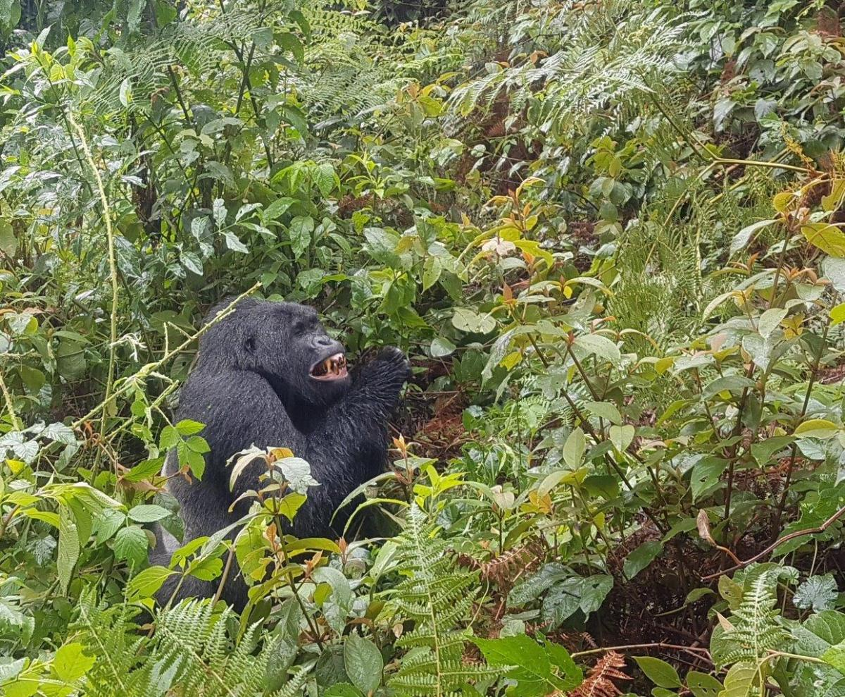 First sound of the silverback male. Gorilla trekking in Bwindi. Ruhija, Uganda.