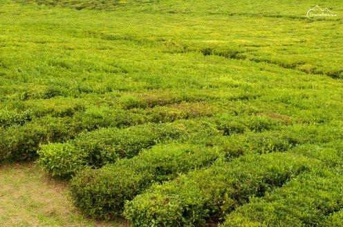 Plantacja herbaty, Azory
