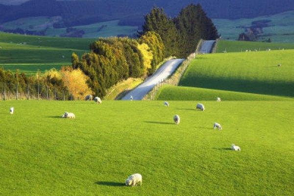 Road & Sheep, NZ