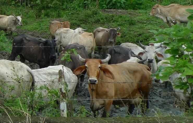 P1020321 Cow