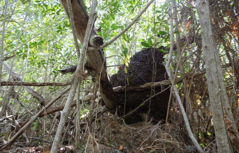 DSC04888 Termite Nest